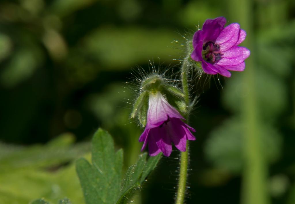 Flower Geraniaceae