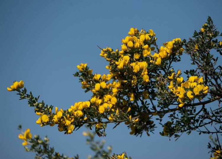 Calycotome flowers