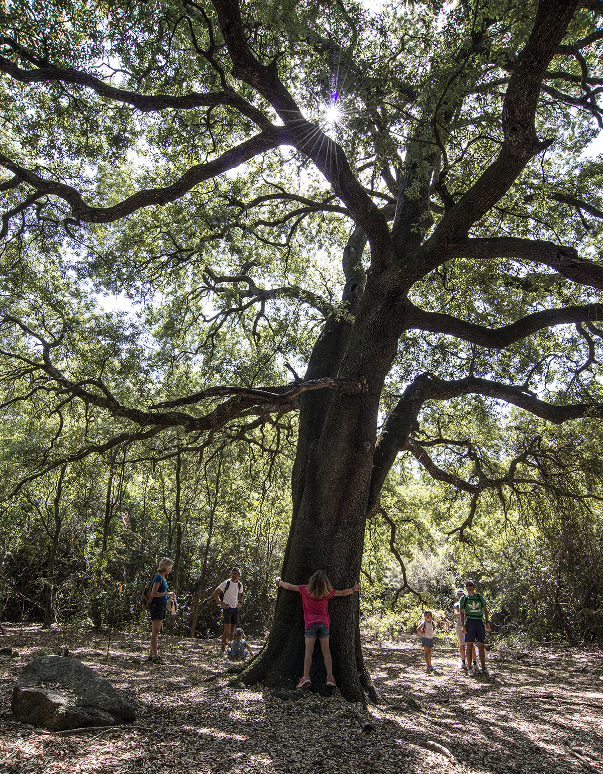 A big Holm oak