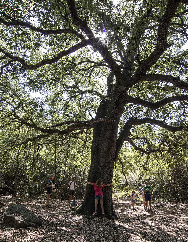 A big Holm oak