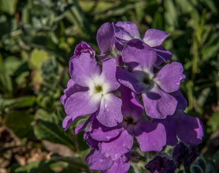Matthiola sinuata flowers