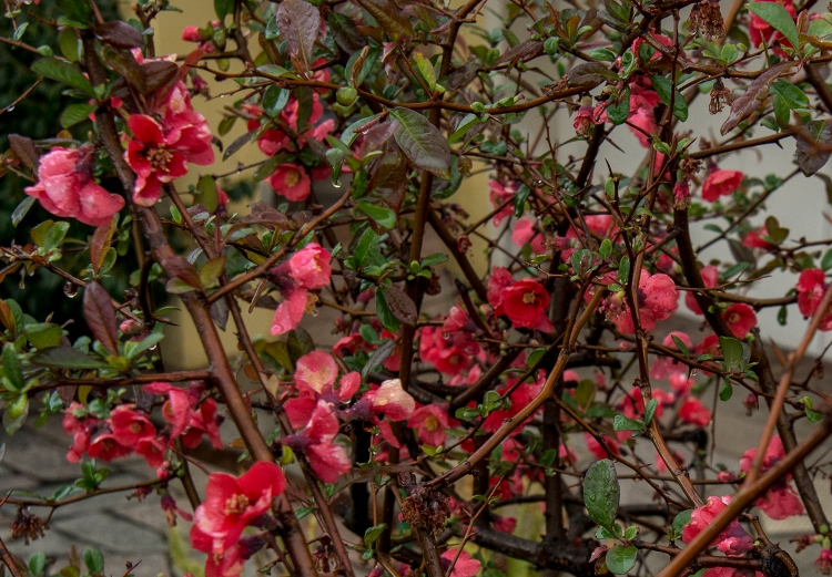 Maule's Quince with flowers
