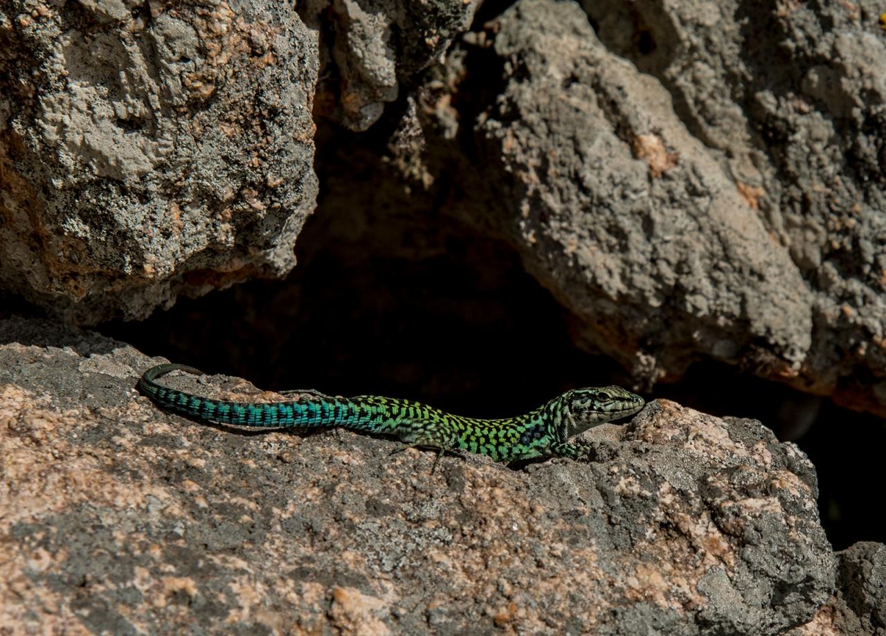 A lizard sunbathing
