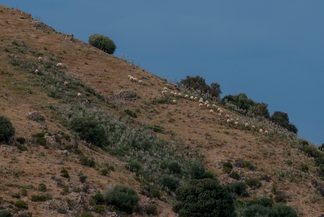 Sardinian landscape with sheep