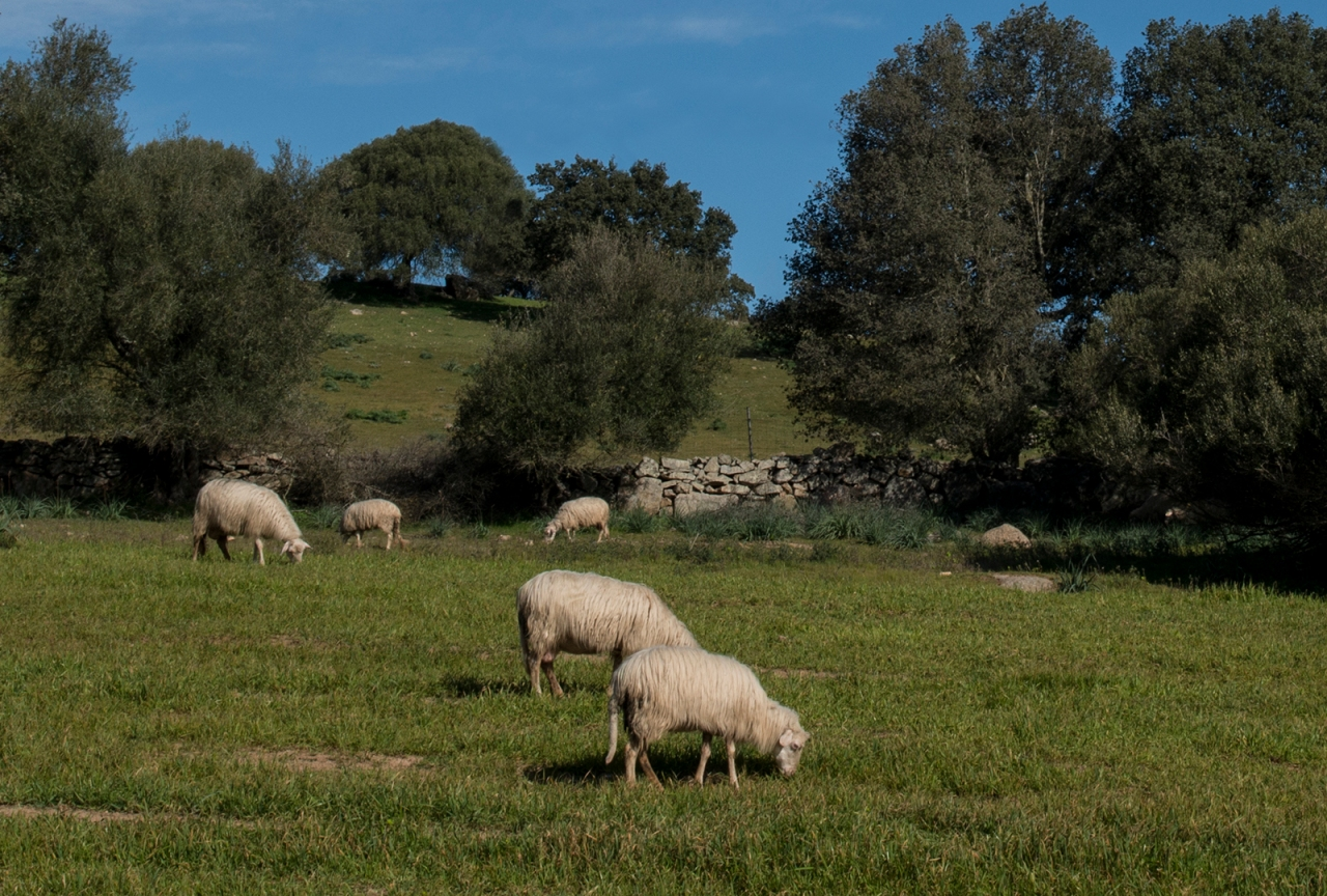 Sardinian sheep grazing