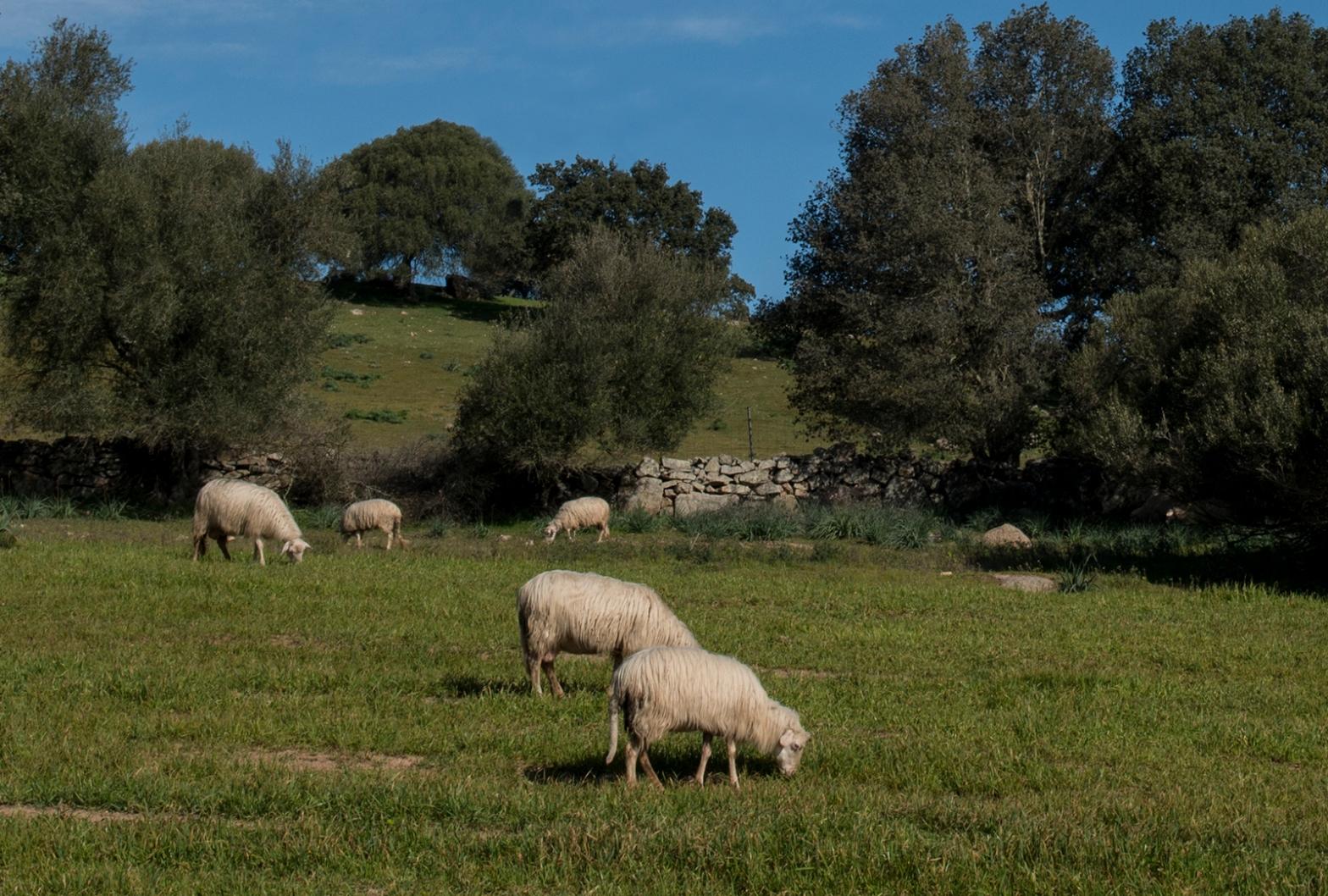 Sardinian sheep grazing