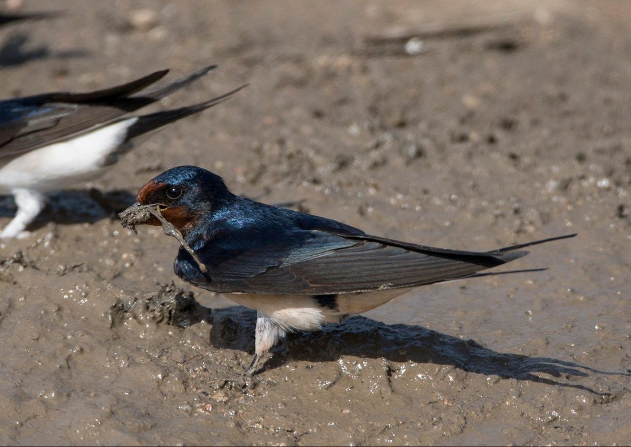 A swallow