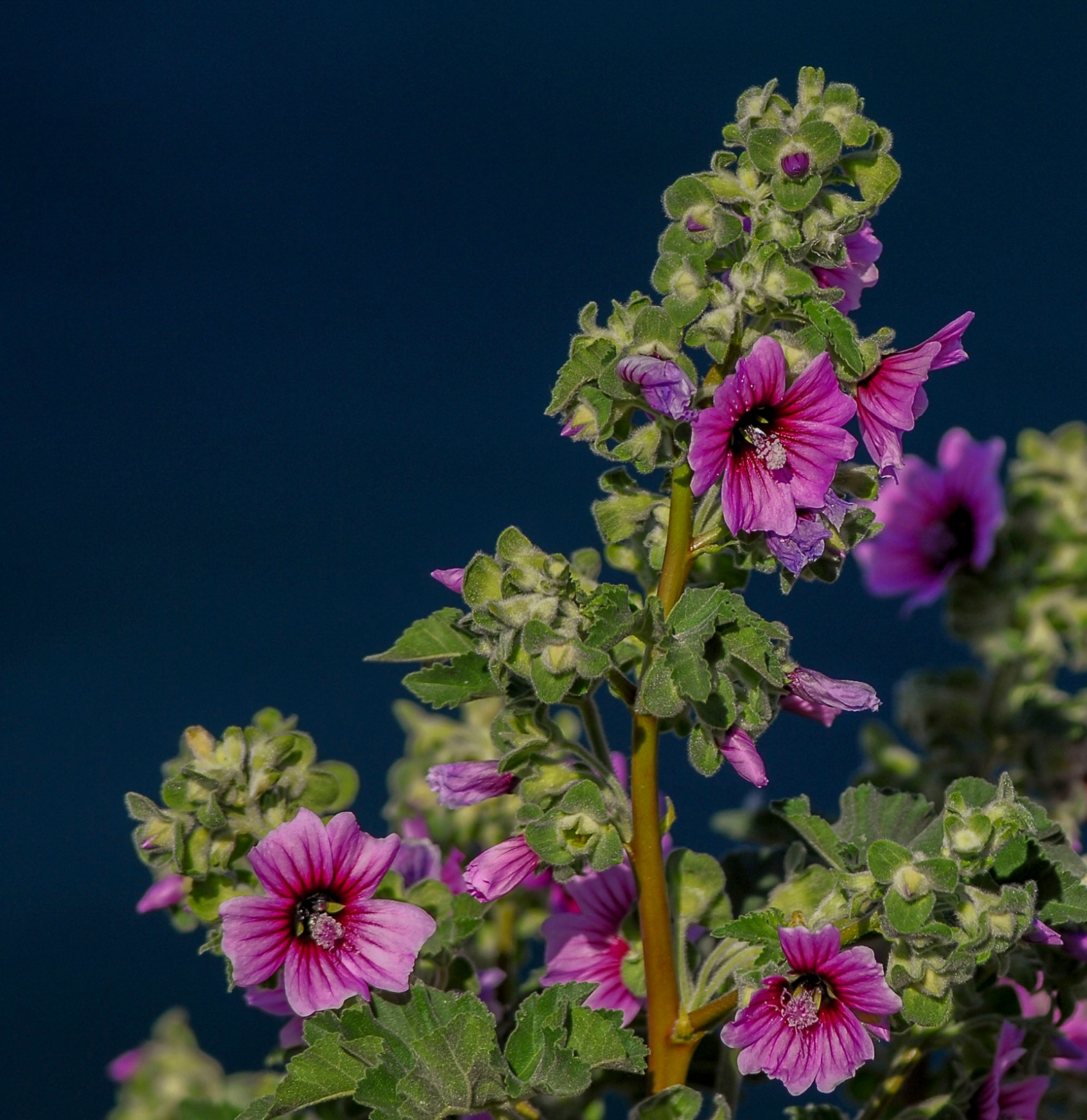 Tree mallow with flowers