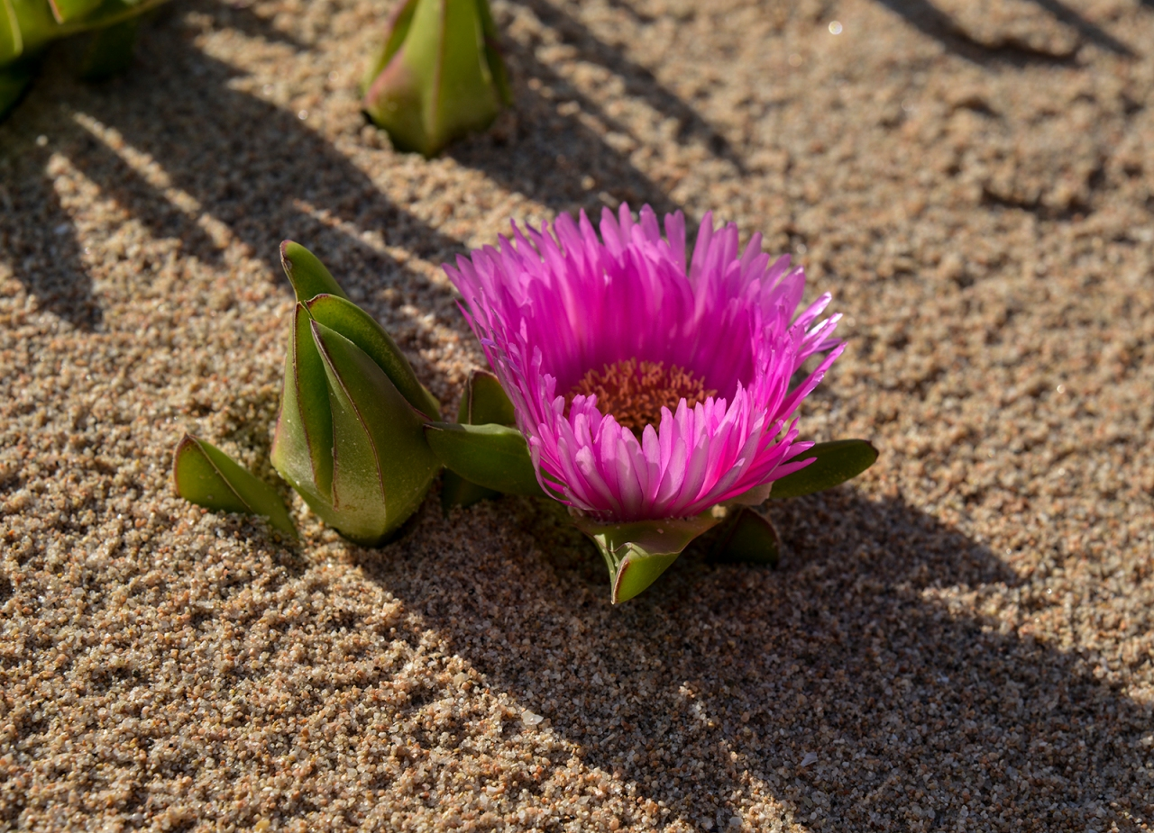 Carpobrotus flower