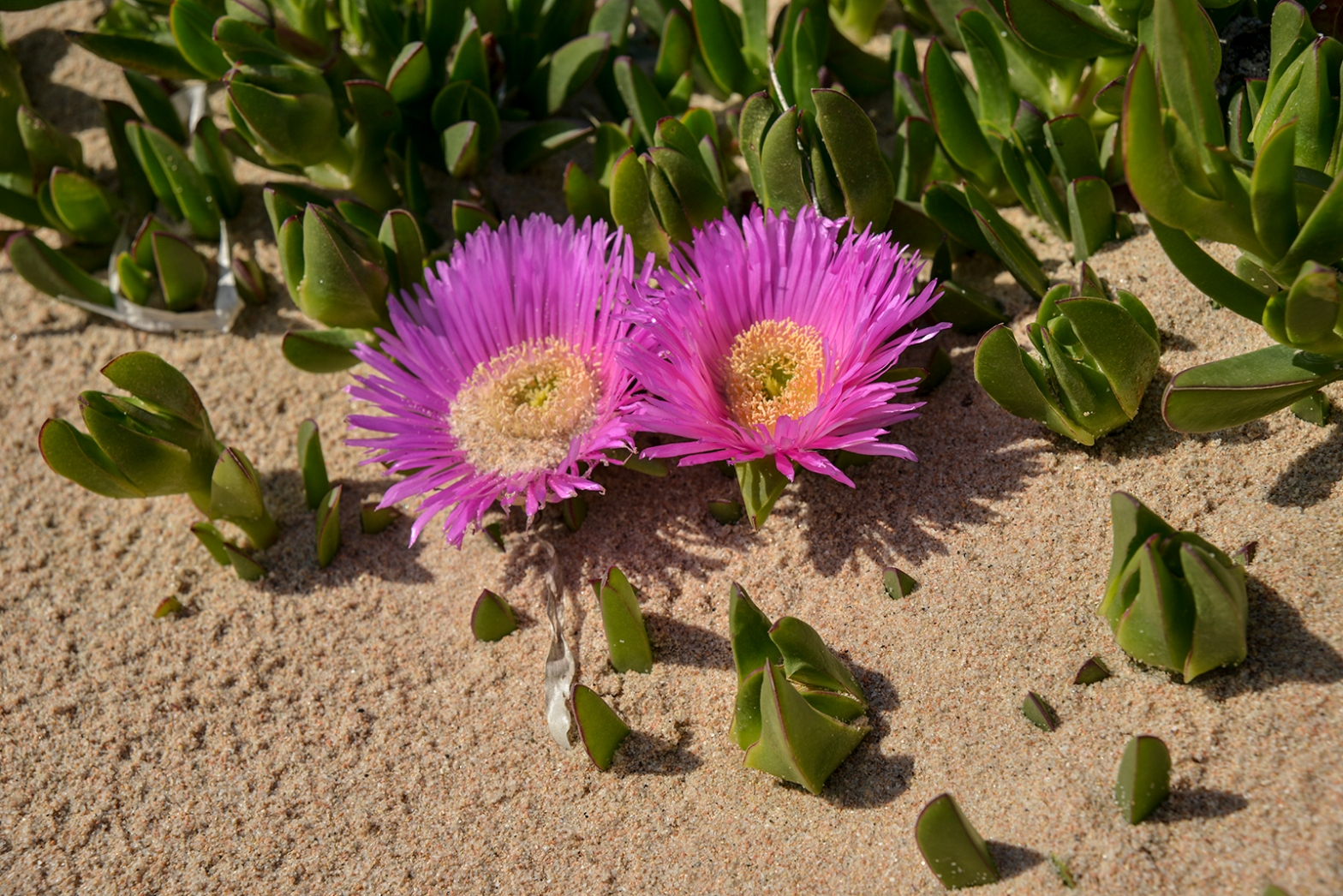 Carpobrotus on sandy dunes