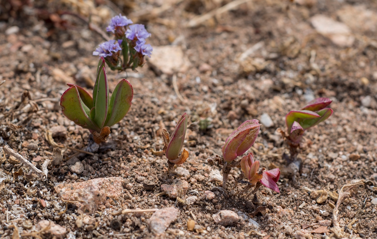 Little Carpobrotus plants
