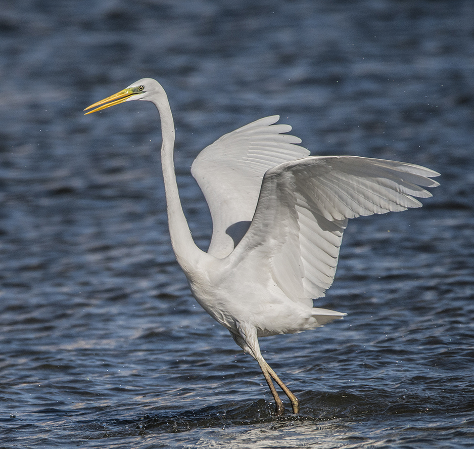 The white beauty of a Great Egret